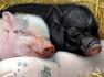 12 지지의 동물 중에 돼지(亥) 등에 관한 꿈
