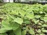 땅두릅뿌리 종근 모종 판매 , 땅두릅재배법 , 땅두릅씨앗 채취 시기 / 땅두릅 뿌리모종 판매하는곳 성거산농원