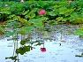 후산지 연꽃