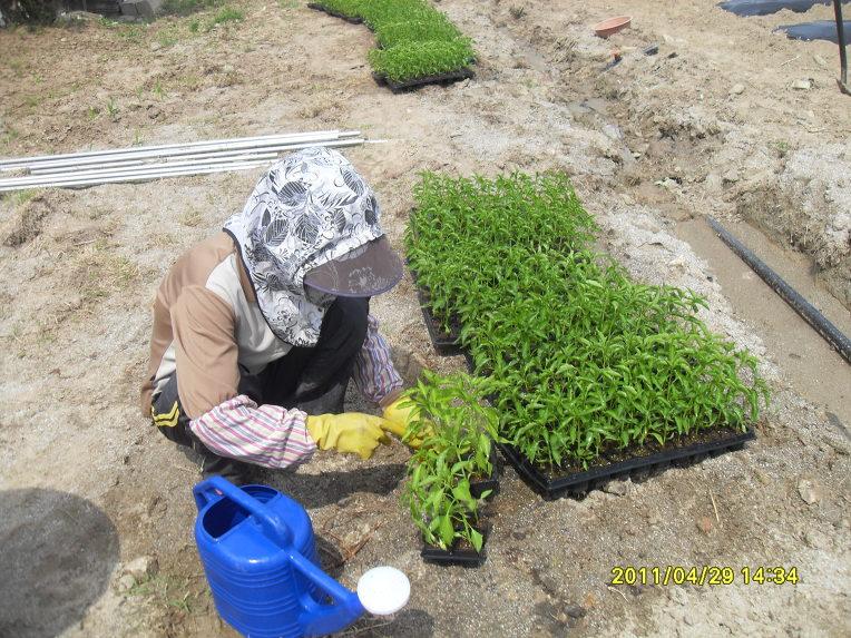 Petani tengah menyiapkan bibit yang akan ditanam.