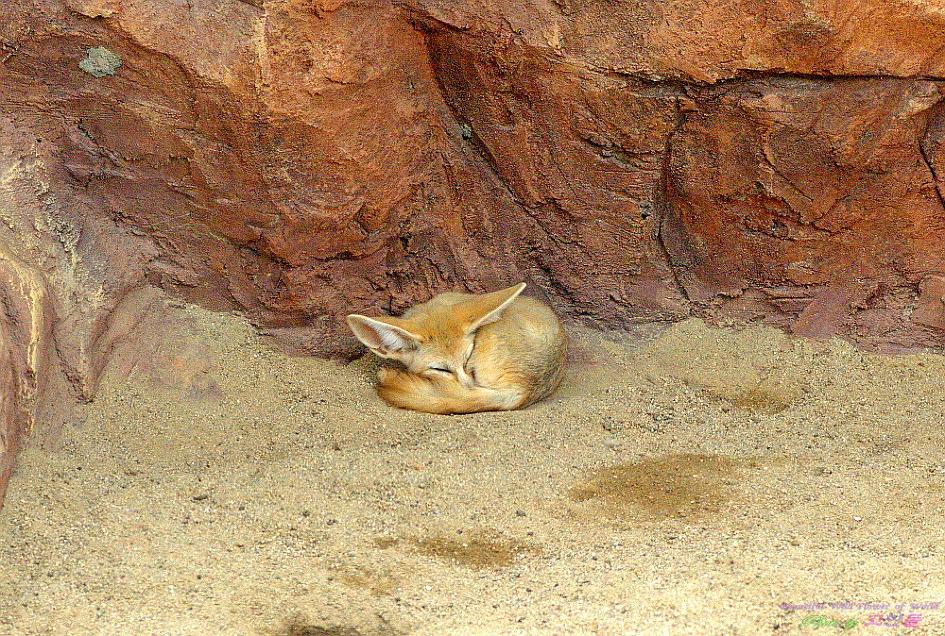 사막여우(페넥여우)